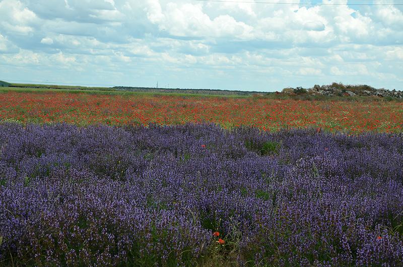 Lavender fields in Brihuega, Guadalajara, Spain
