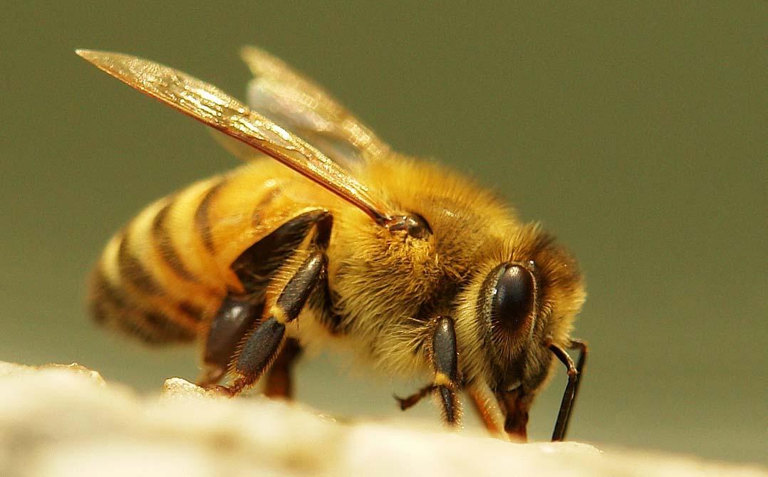Biene der Art Apis cerana