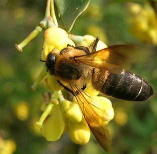 Biene der Art Apis dorsata