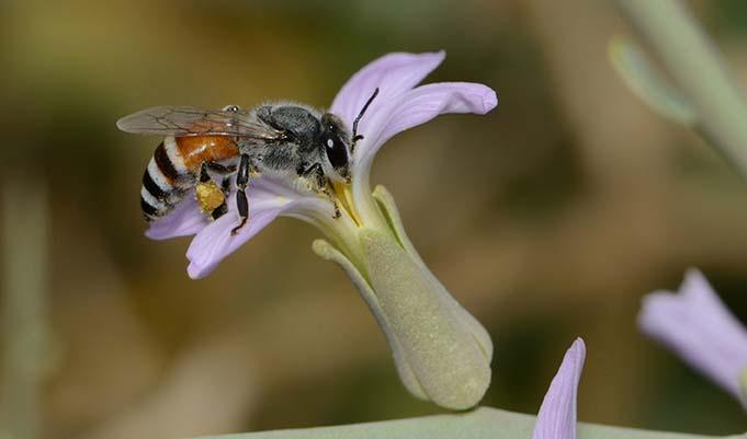 Biene der Art Apis florea
