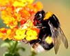 abeja trigona