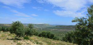 Olivos de Jaén