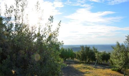 Campo de olivos de Jaén