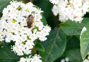 abeja polinizando flores