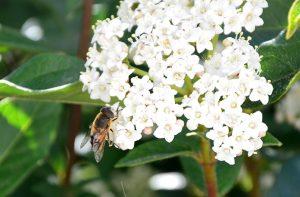 abeja polinizando flores de un arbusto
