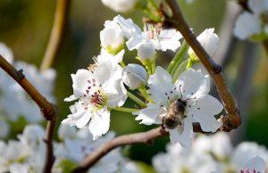 abeja polinizando flores de un peral