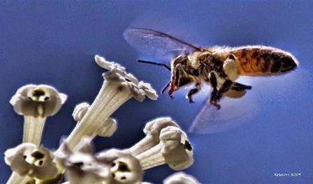 Polen recolectado por una abeja