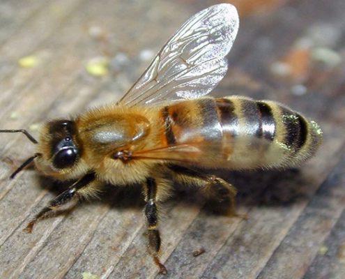Las abejas aprender mientras duermen