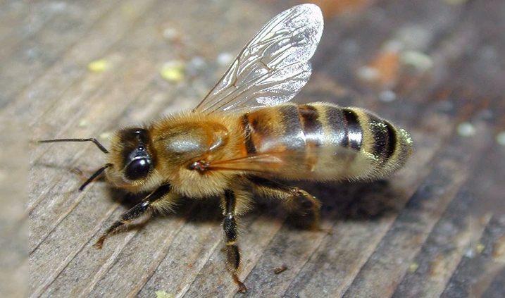 Las abejas aprenden mientras duermen
