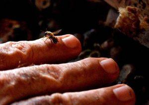 abeja melipona sobre una mano