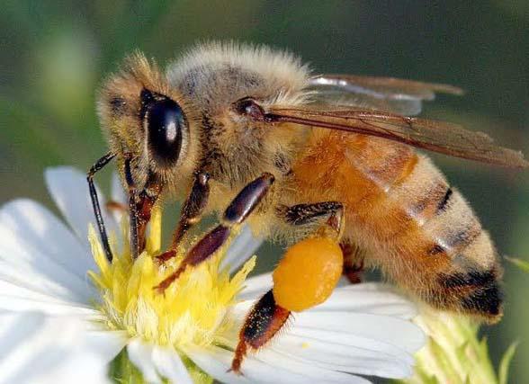 Biene der Art Melipona