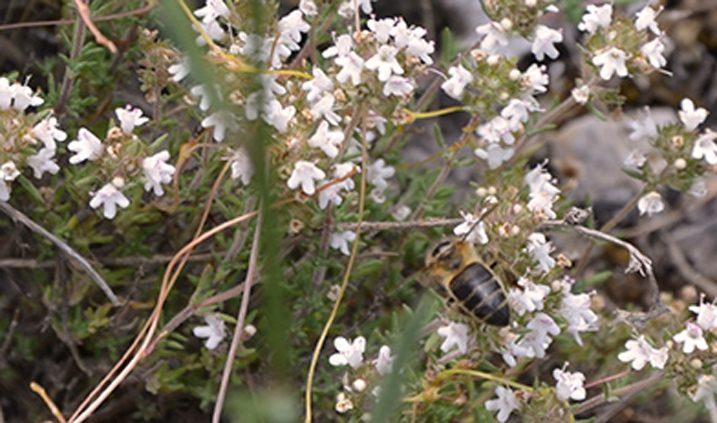 flores de tomillo