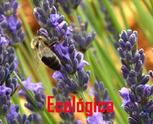 lavender in organic farming