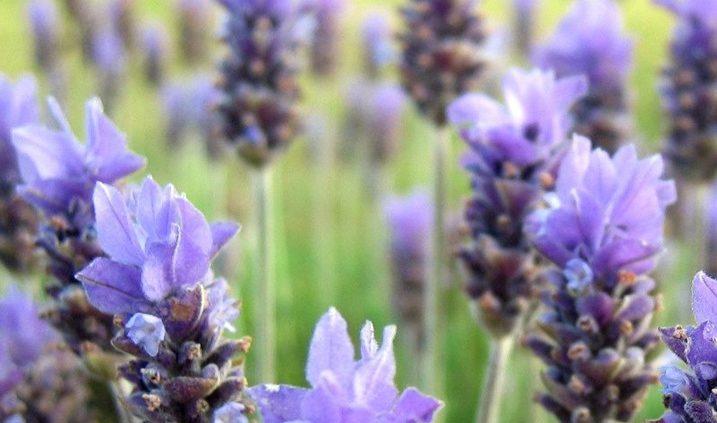 flores para sacar aceite esencial de lavanda