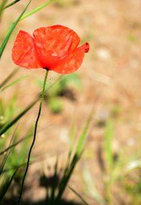 flore de la amapola