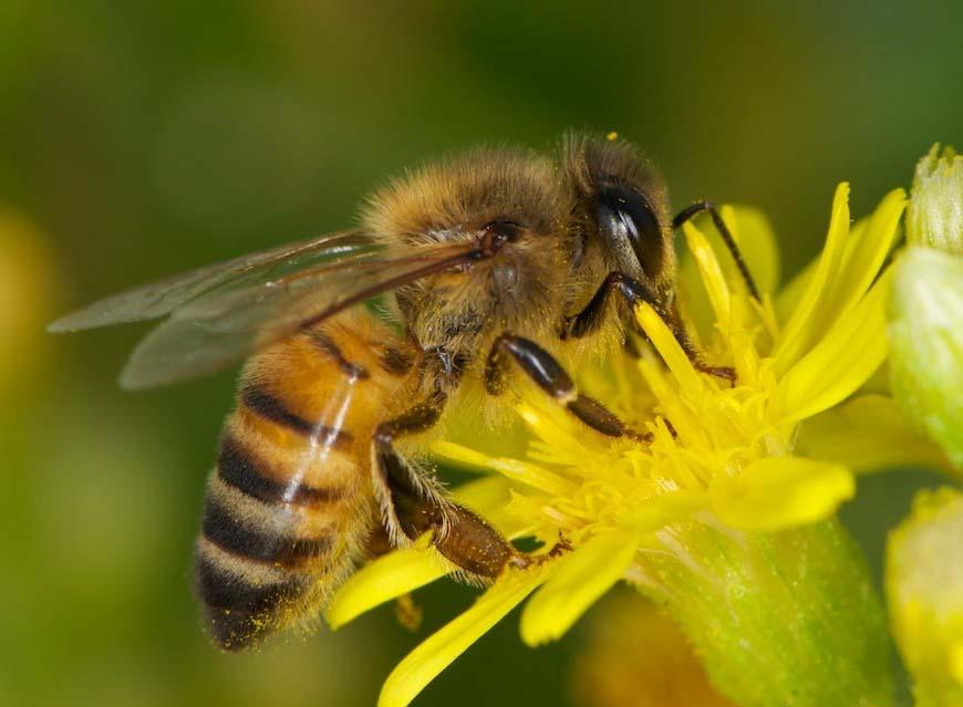 Biene der Art Apis mellifera