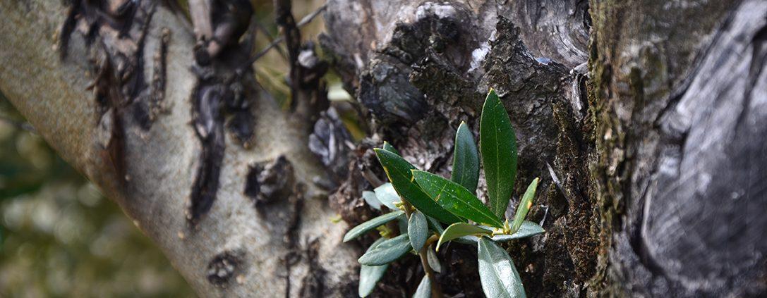 brote de un olivo