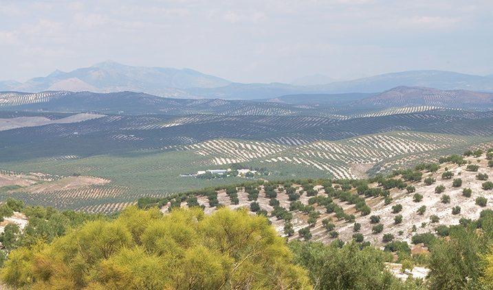Mas de olivos de Jaén