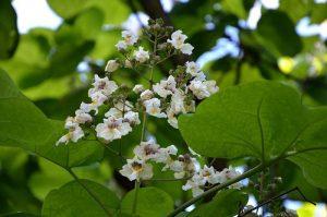 Flores de catalp