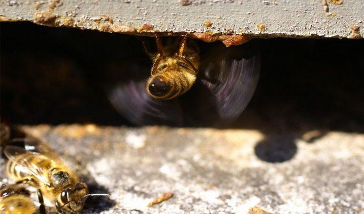 comportamiento de las abejas con sus vecinas