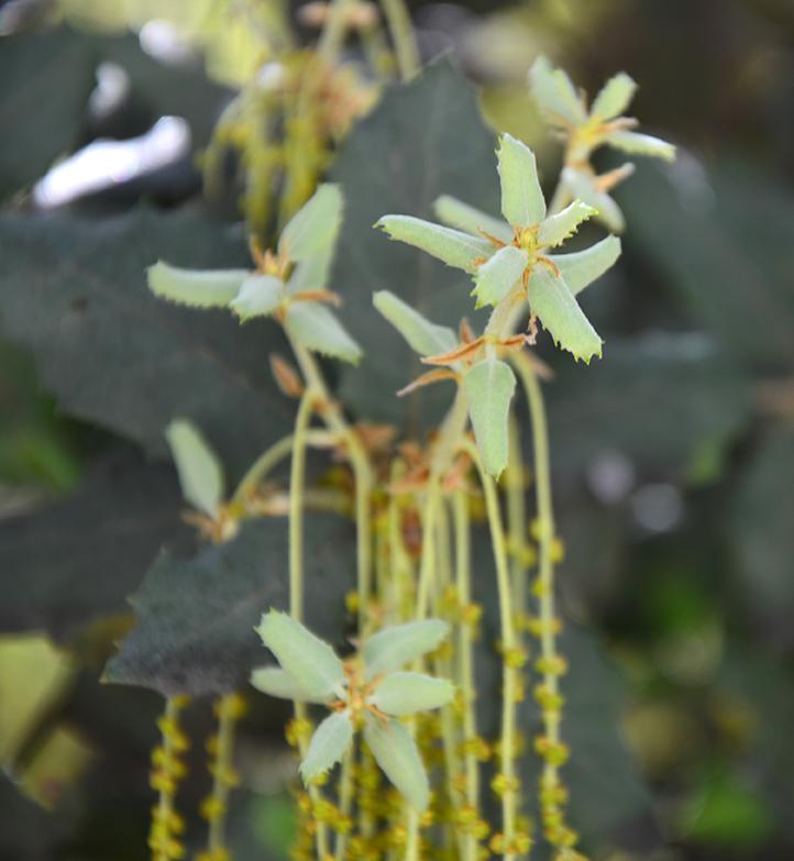 Holm oak in bloom and growing