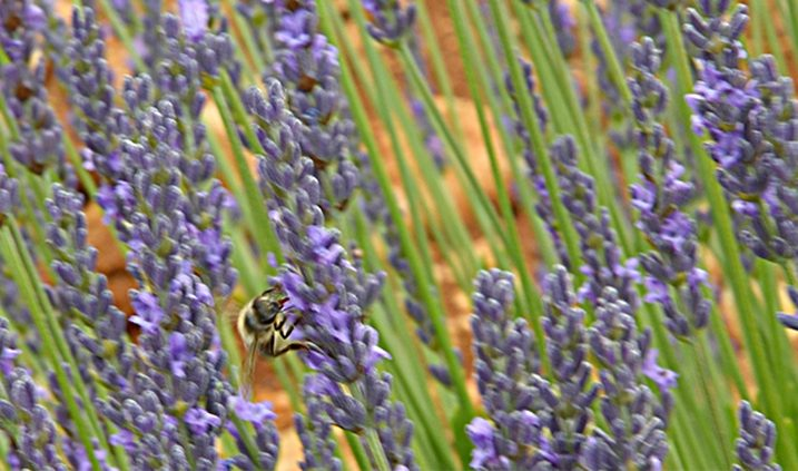 dosis de aluminio en las abejas