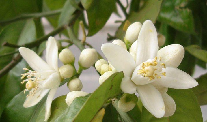 flor de azahar en Madrid