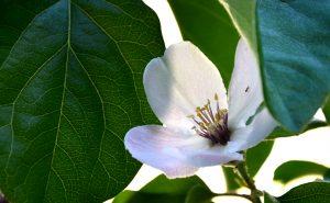 Flor del membrillo