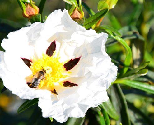jara, una de las flores para la miel