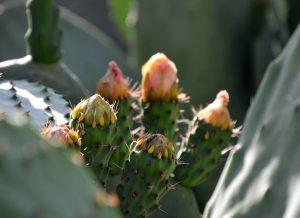 flores del caztus