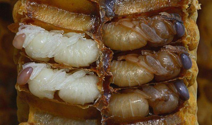 daño de las abejas por los insecticidas