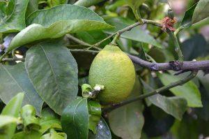 fruto del limón