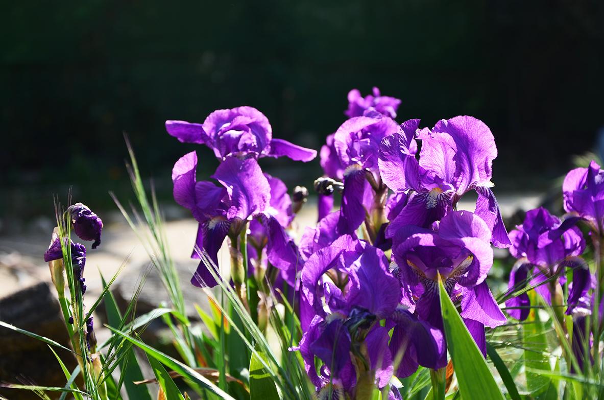Purple lily flowers