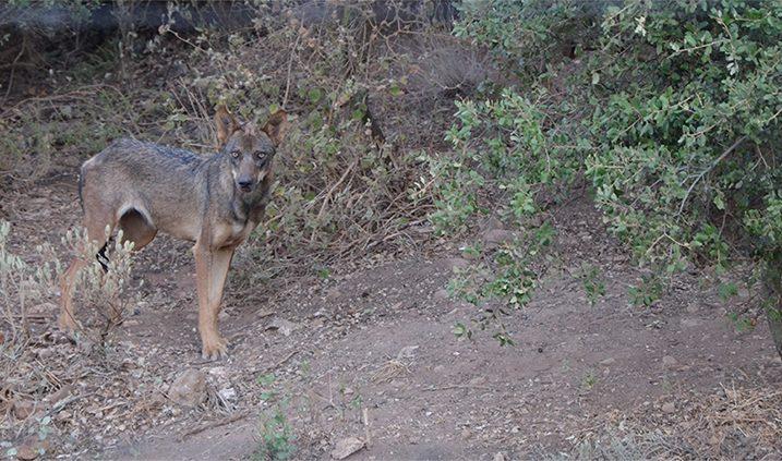 cachorro de lobo ibérico