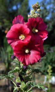flores rojas de la malva real
