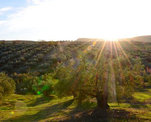 foto de un atardecer en un campo de olivos de Jaén