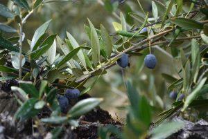 aceitunas de un olivo picual