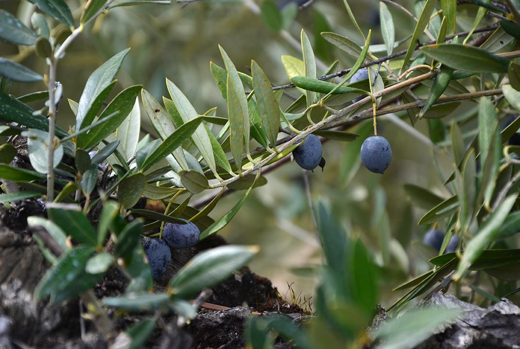 Picual-oliven, die bekannte Olivensorten in Spain