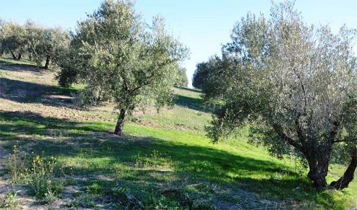 cuidados del olivo de Porcuna en Jaén