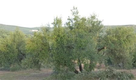 olivos tosd la poda