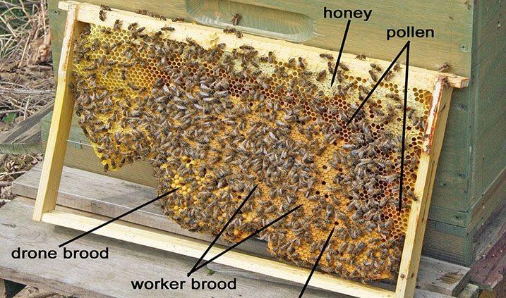 panal de cría de una colmena de abejas
