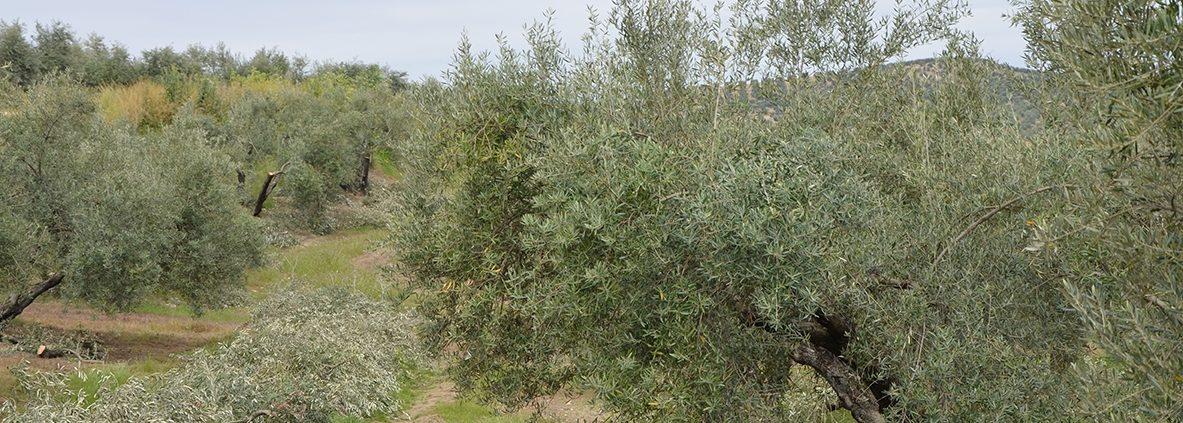 poda del olivo en campos de Jaén