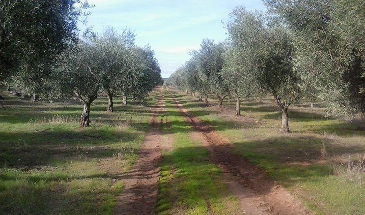 cuidados del olivo, el riego