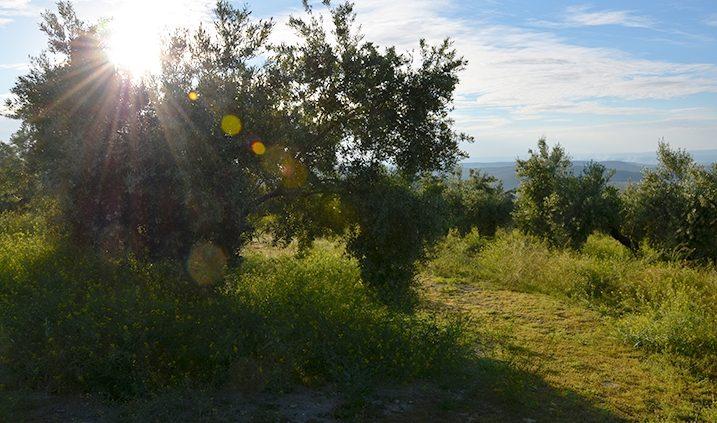campo de olivos en Jaén