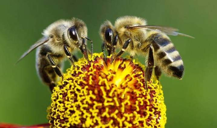 Abjeas melíferas, uno de los tipos de abejas más comunes en la apicultura