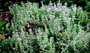 planta de romero, otra planta afectada por la xilella