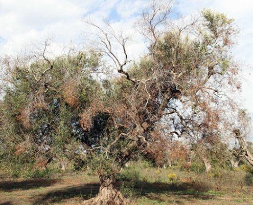 Olivo afectado por la xilella fastidiosa