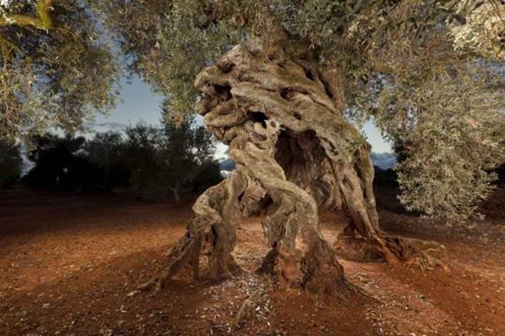 centenary olive tree