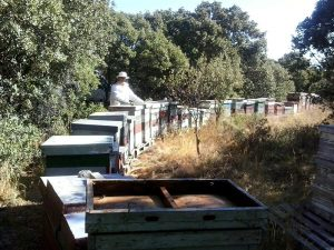 Recolección de la miel en el campo