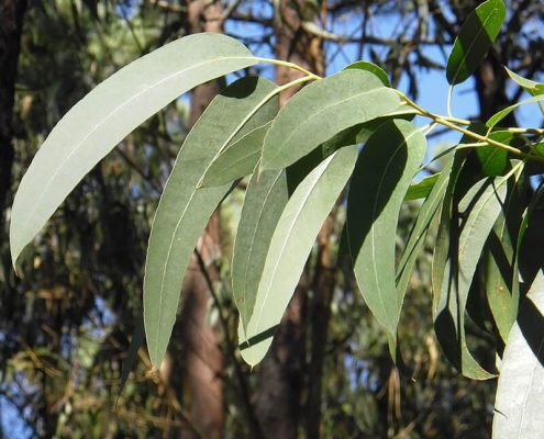 Hojas del eucalipto